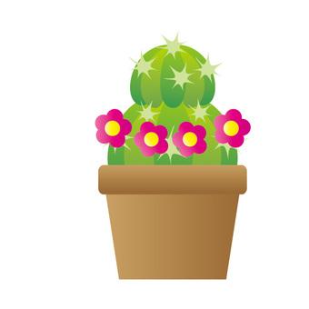 室內植物 - 球仙人掌(2級,粉紅色的花朵)