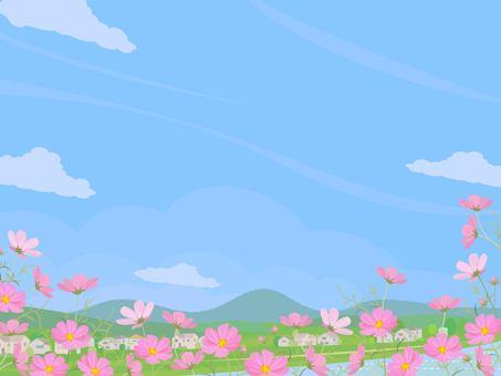 秋景晴天大波斯菊