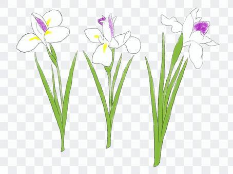 3朵鳶尾花白色